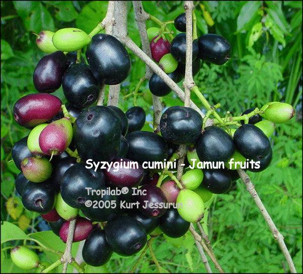 Image result for Syzygium cumini