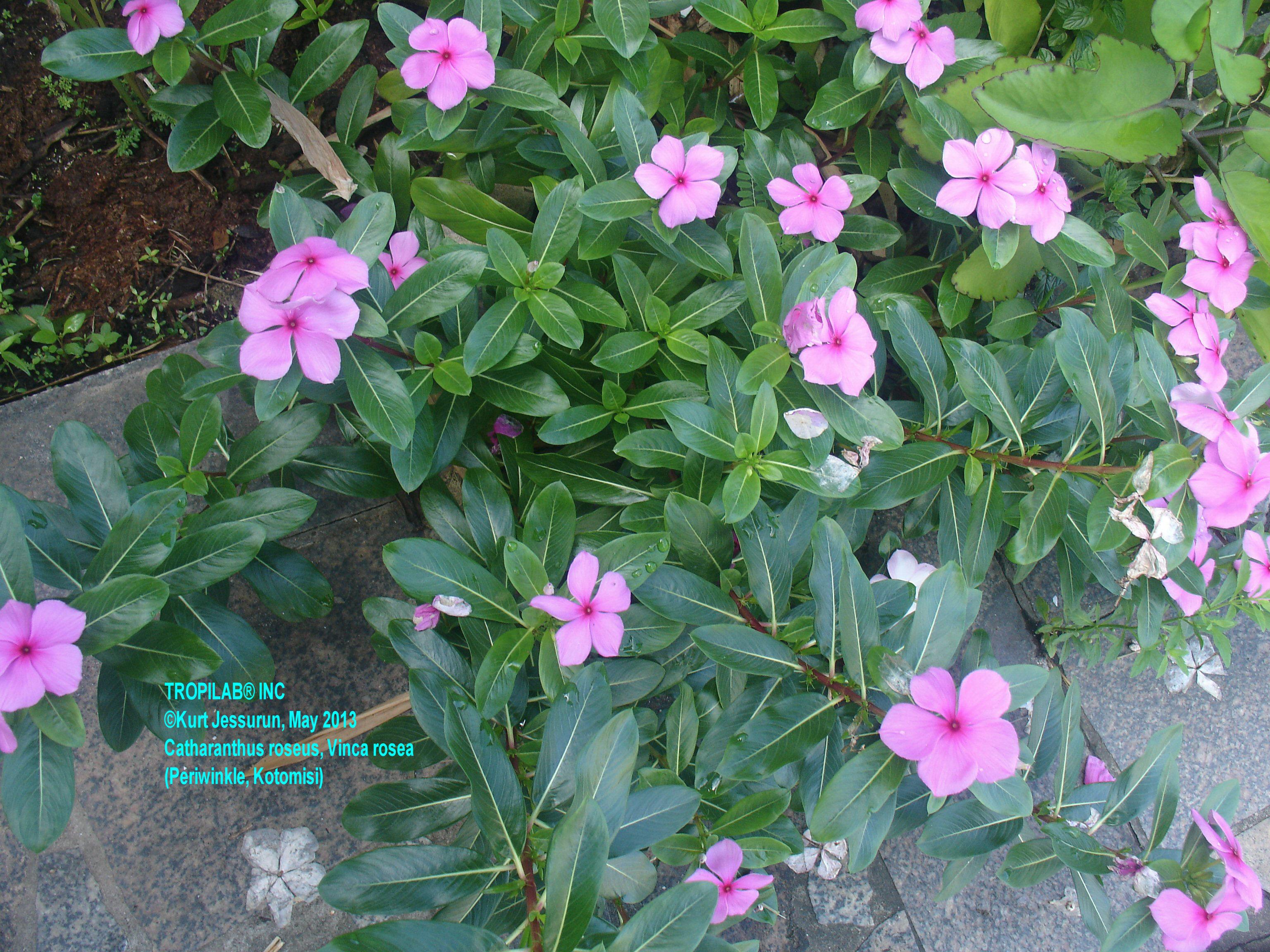 Vinca rosea herbal tea izmirmasajfo