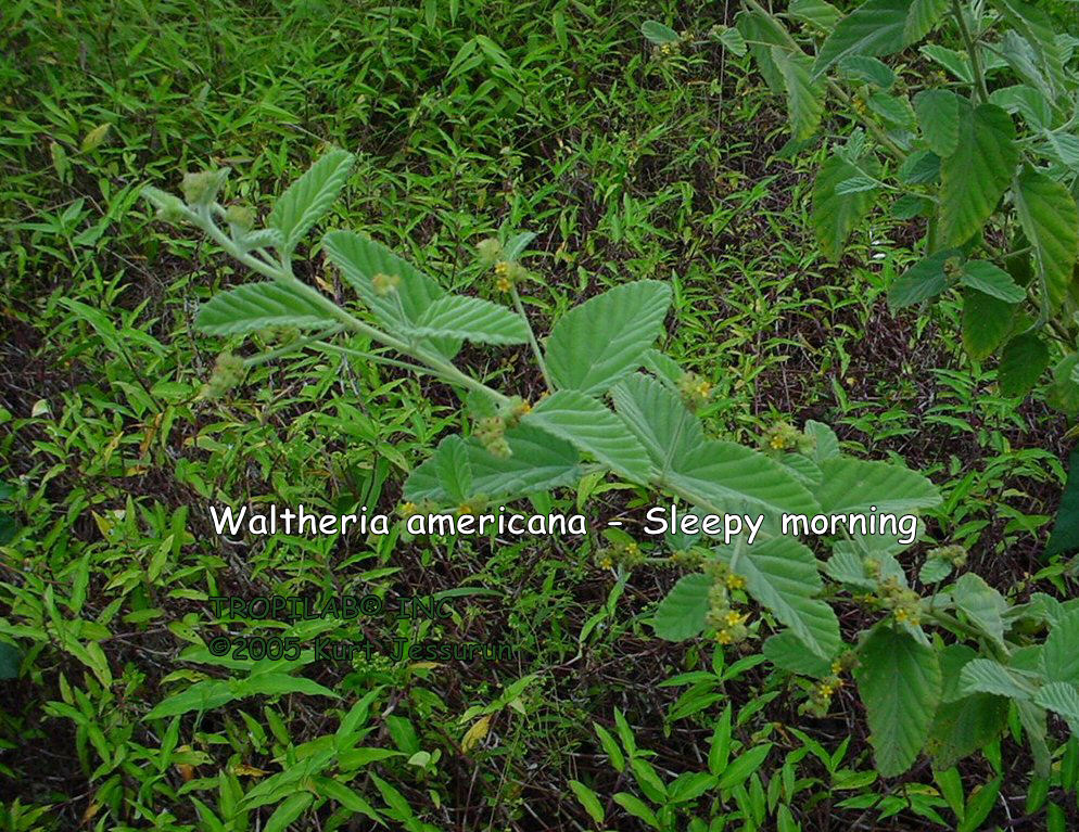 waltheria indica extract
